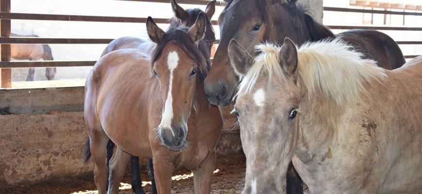 На откорме новая порода лошадей