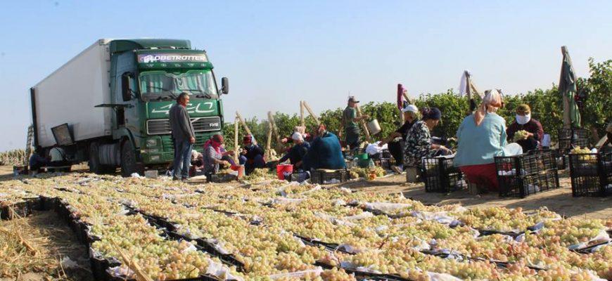 Туркестанский виноград - в Россию