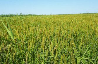 Кызылординские рисоводы ждут повышения цены, иначе им придется туго