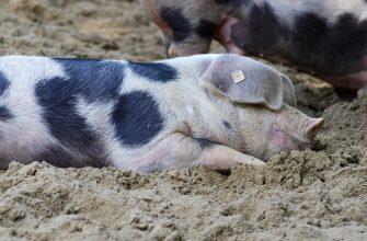 В США изменят систему убоя свиней