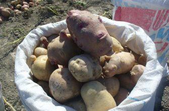 Несмотря на новый урожай, цена на картофель в Кызылорде стала выше