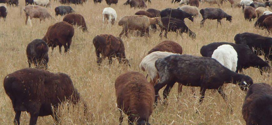 Увеличить государственную поддержку овцеводства просят фермеры