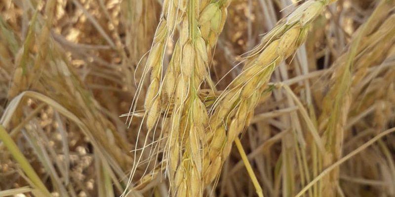 60 центнеров с гектара  - средняя урожайность кызылординского  риса  Сыр сулуы