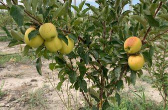 Первый урожай яблок