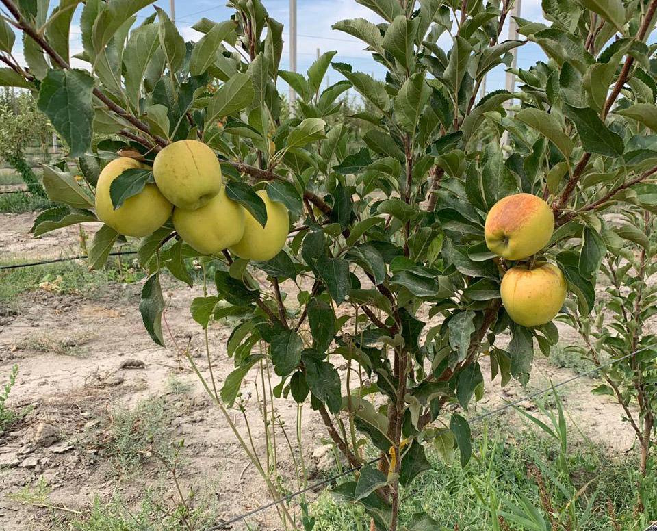 О туркестанских яблоках и лже-экспортерах