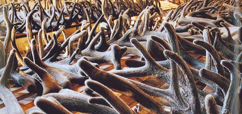 Более 10 тонн пантов отправлены на экспорт из Красноярского края в Гонконг