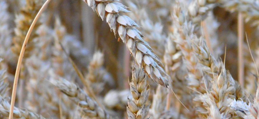 За прошлую неделю пшеница в США и Франции выросла, а в Британии снизилась