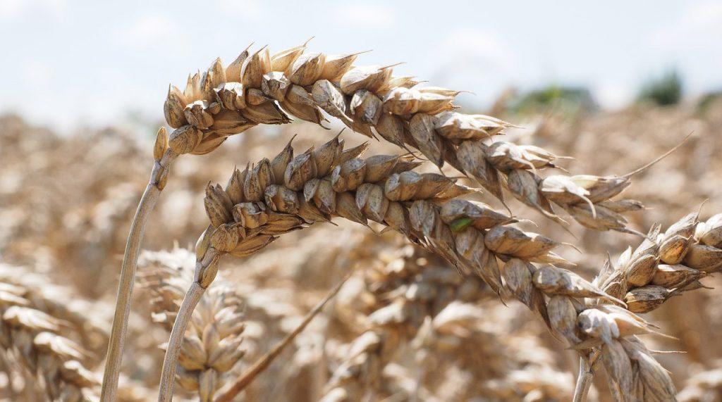 В середине сентября рост российских зерновых становится более умеренным