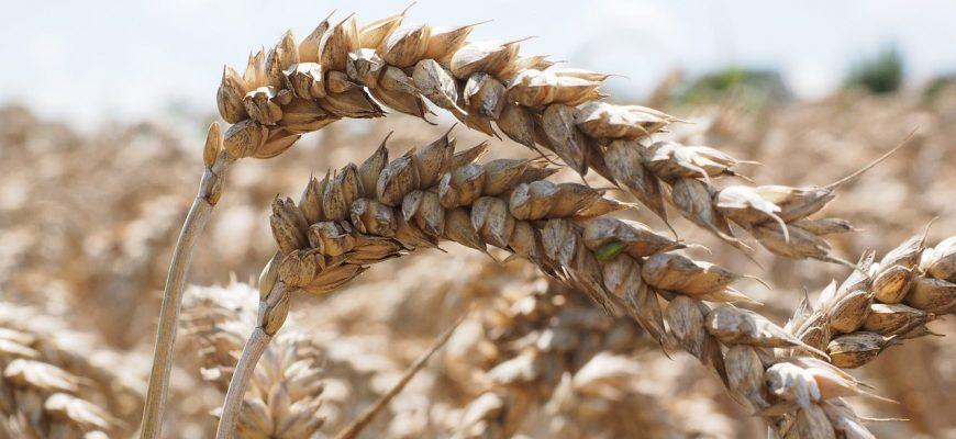 Цены на российскую пшеницу начали быстро расти вслед за европейскими
