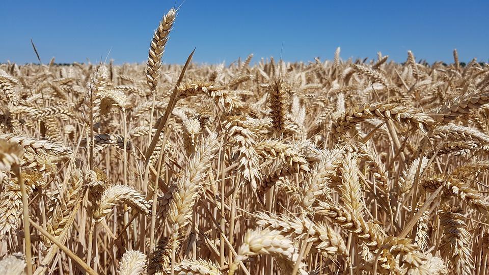 Урожай зерна в 2021 году снизится в России к прошлому году на 4,6%