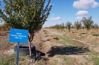 В Кызылординской области  фруктовые  сады и виноградники занимают 325 гектаров