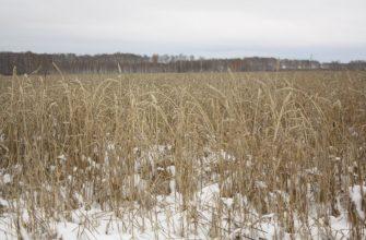 40 тыс. га зерновых – под снегом