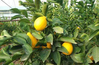 Лимонное царство