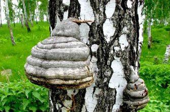Китай наращивает импорт гриба чага из Приморья