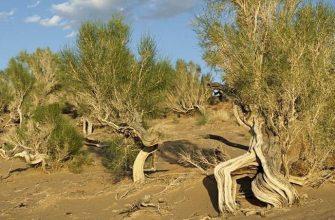 На юге Казахстана участились случаи незаконной вырубки саксаула