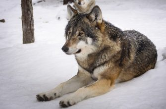Чабаны и волки