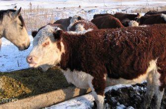 В животноводстве Востока  лидирует разведение КРС и лошадей