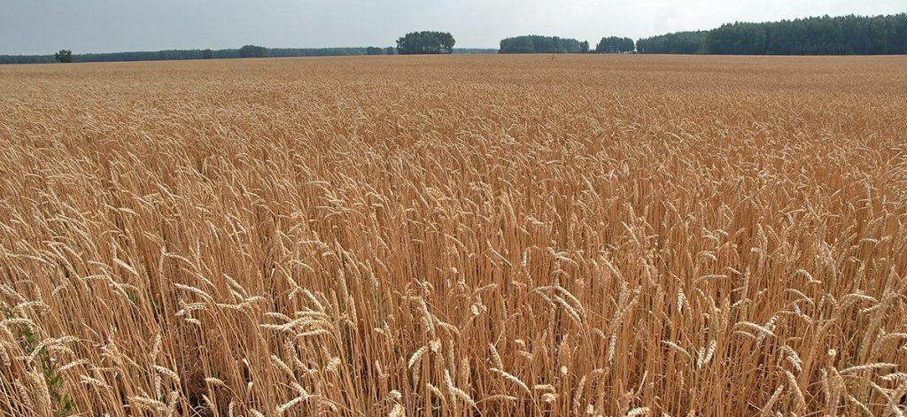 Во вторник пшеницу в США развернуло вверх, а во Франции вниз