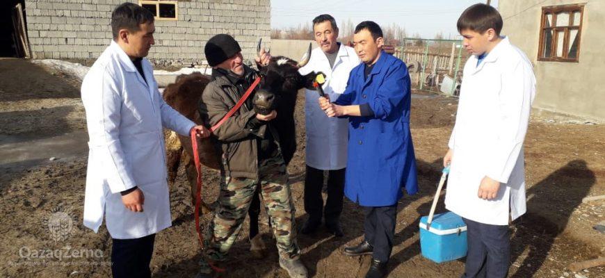 В Жамбылской области продолжается работа по вакцинации скота