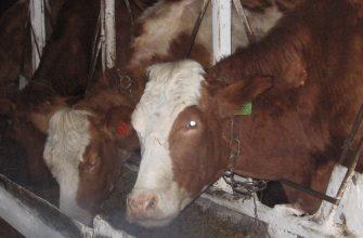 На Востоке растет поголовье молочных коров