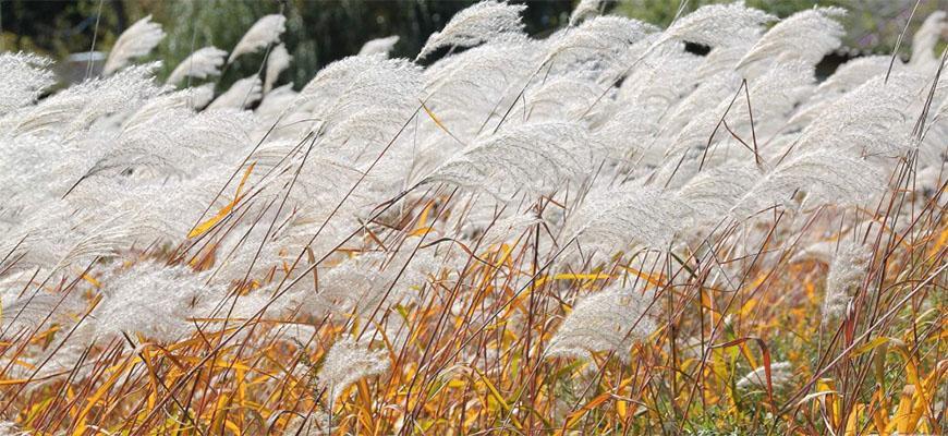 В Алтайском крае пробуют выращивать мискантус