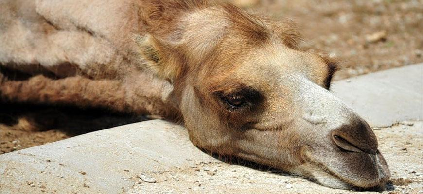 В Казахстане погибли 33 верблюда