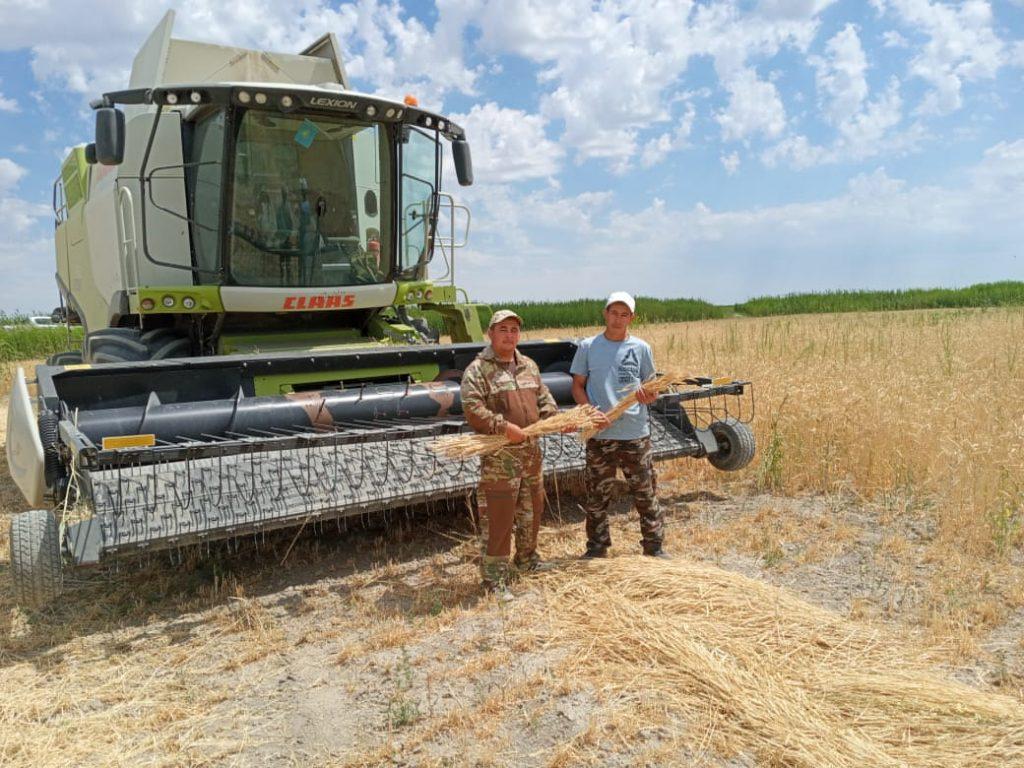 Началась уборка яровой пшеницы