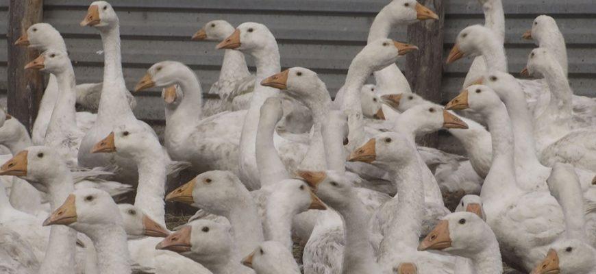 Североказахстанские фермеры ждут компенсацию за погибшее от птичьего гриппа поголовье