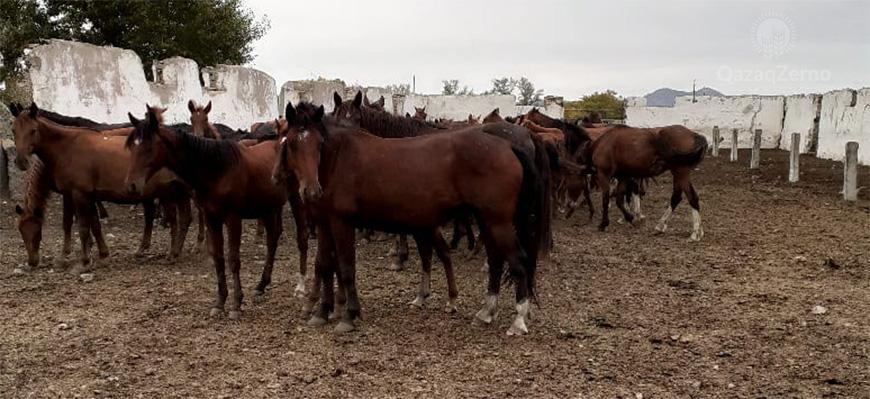 У меня одного погибло более  100 лошадей