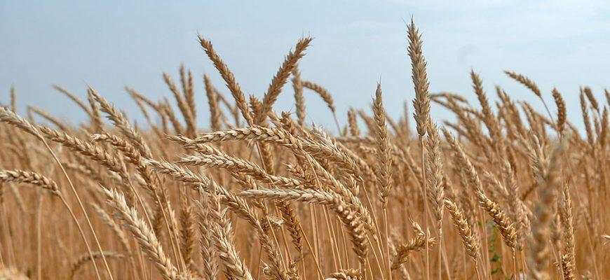 В понедельник пшеница в США начала неделю ростом