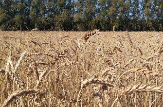 Средний урожай – в два раза выше областного