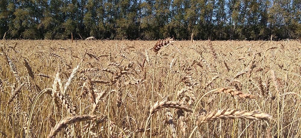 На прошлой неделе продажи пшеницы на ЕТС возросли в 2,9 раза