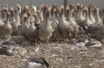 В Северо-Казахстанской области массово гибнет сельскохозяйственная птица