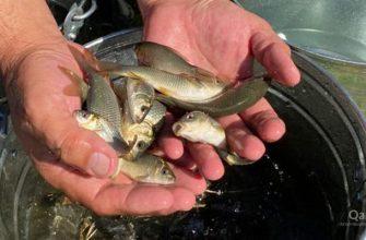 В реку Есиль выпустят миллион мальков рыбы
