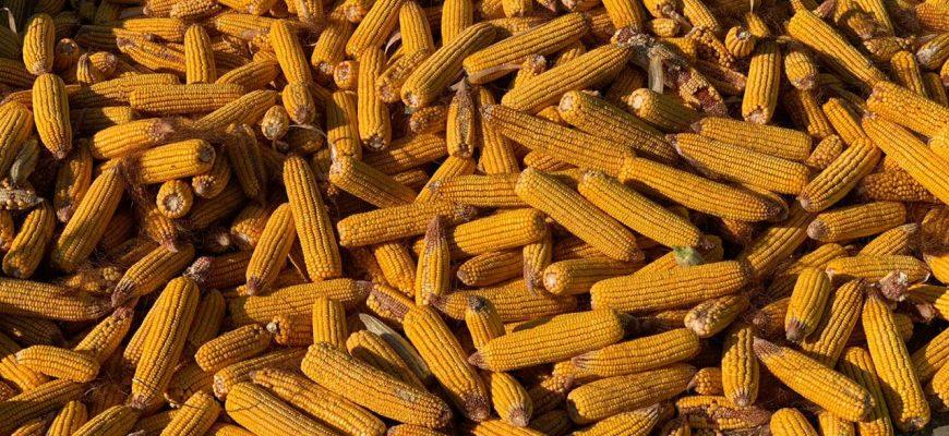 Кукурузу убирают в хозяйствах