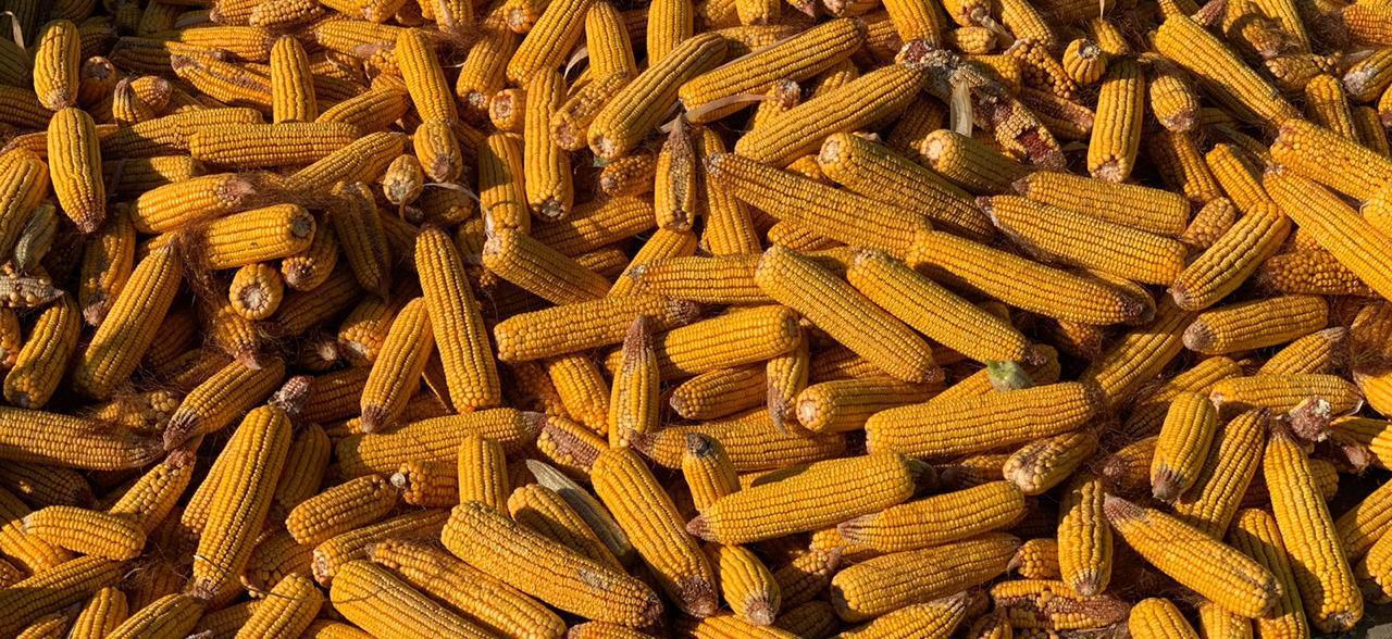 Мировое производство кукурузы составит 1,146 млрд тонн в 2020-21 сезоне