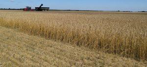 Урожай созрел неплохой. Что будет с ценой на хлеб и муку нового урожая?