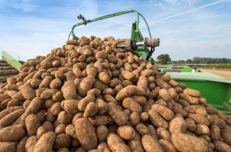 Слагаемые высокой урожайности картофеля