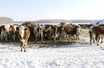 Как в Казахстане чешскую скотину спасали