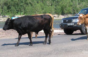 На Востоке найден украденный скот, а 18 тысяч голов загнали на  штрафстоянку