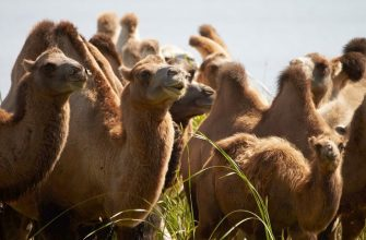 Малочисленных верблюдов стало еще меньше