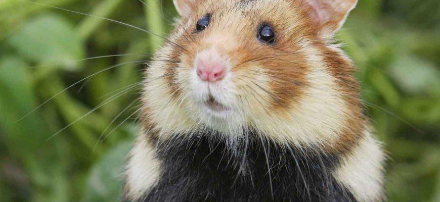 Мелких домашних животных вакцинировать от COVID-19 не нужно