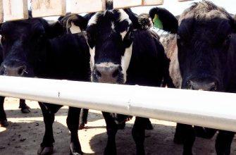 На Востоке показали, как нужно развивать мясное скотоводство