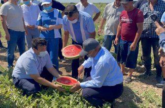 Бахчевые поспели в Туркестане