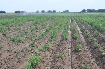 КазНИИ разрабатывает сорта картофеля с повышенными качествами