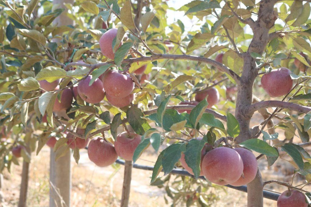 Местные яблоки – самые вкусные