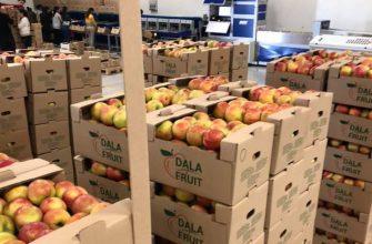 Уборка урожая яблок идет в Туркестанской области