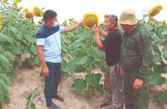 Подсолнечные поля на юге Казахстана