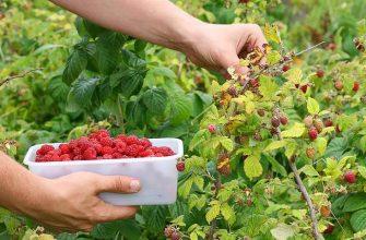 По две тонны малины с одного гектара получает житель села