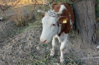 Бродячий скот вредит дачникам